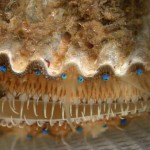 scallop-eyes-menacing-wide